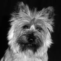 Bonnie The Cairn Terrier by bensonga in bensonga
