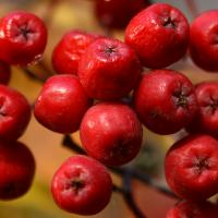 Mountain Ash Berries by bensonga