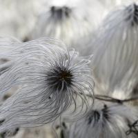 Puff Flowers by bensonga in bensonga
