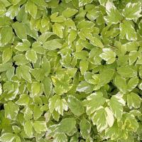 Varigated Green Foliage Plant