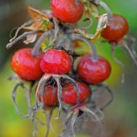 Rose Hip Berries by bensonga in bensonga