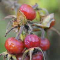 Rose Hip Berries with the Nikon D700 by bensonga