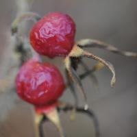 Two Rose Hips by bensonga in bensonga