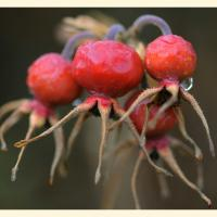 Rose Hip Berries Squared by bensonga in bensonga