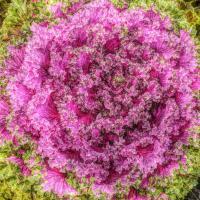 Flowering Cabbage by bensonga in bensonga