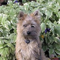 Bonnie The Cairn Terrier by bensonga in bensonga