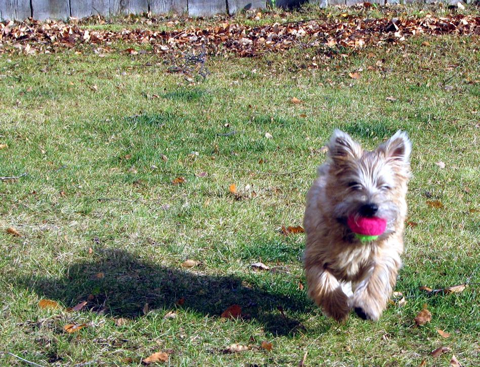 Bonnie Fetching A Ball by bensonga in bensonga