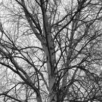 Birch Tree Bw by bensonga in bensonga
