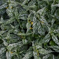 Silver-green Plant by bensonga in bensonga