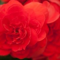 Red Begonia Large