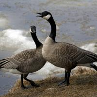 A Pair Of Canadian Geese by bensonga in bensonga