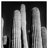 Lower Sabino Canyon Saguaro by bensonga