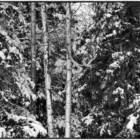 Winter Trees (BW) by bensonga in bensonga