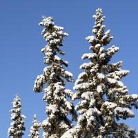 Snow On Black Spruce by bensonga in bensonga