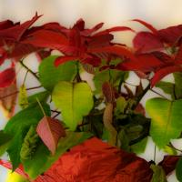 Poinsettia by bensonga