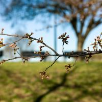 Cherry Blossom Buds Are Here, Tourists Not Far Behind by TimothyHyde in Regular Member Gallery