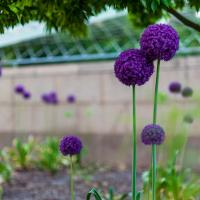 Alliums In Bloom At The Smithsonian Gardens by TimothyHyde