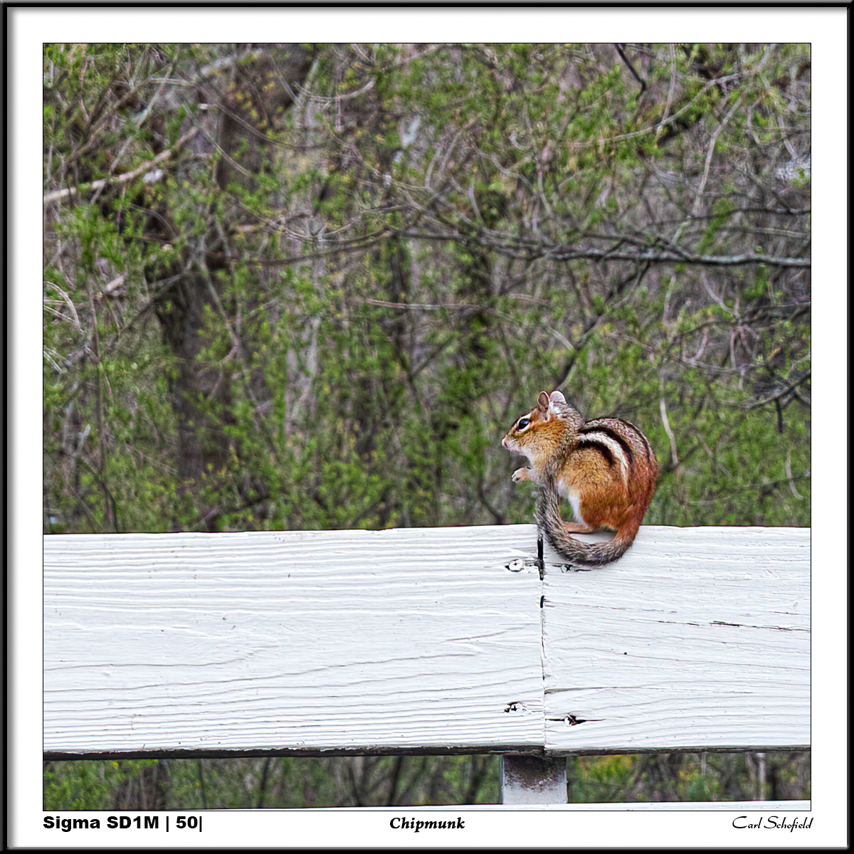 Chipmunk by scho in Regular Member Gallery